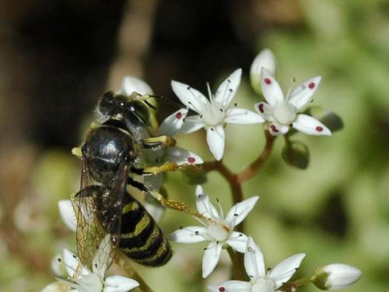 Aculeate Wasps : (Crabronidae) Bembix tarsata