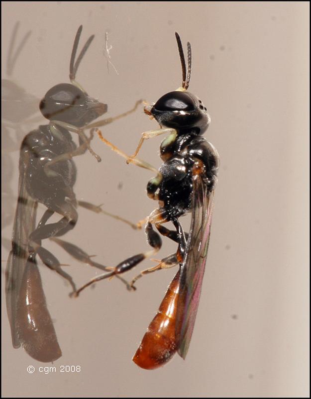 Aculeate Wasps : (Crabronidae) Rhopalum clavipes