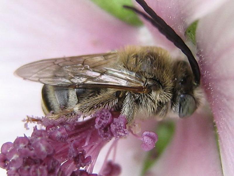 Bees : (Apidae) Tetralonia malvae