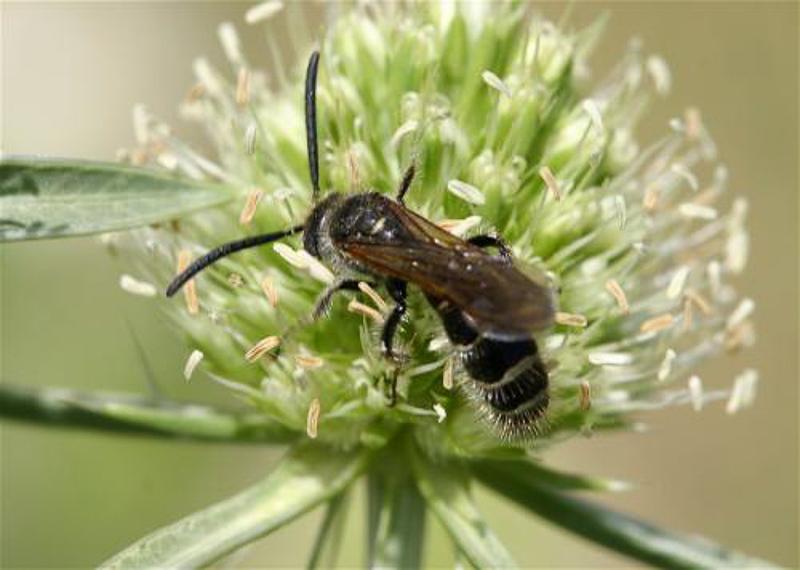 Aculeate Wasps : (Scoliidae) Colpa quinquecincta