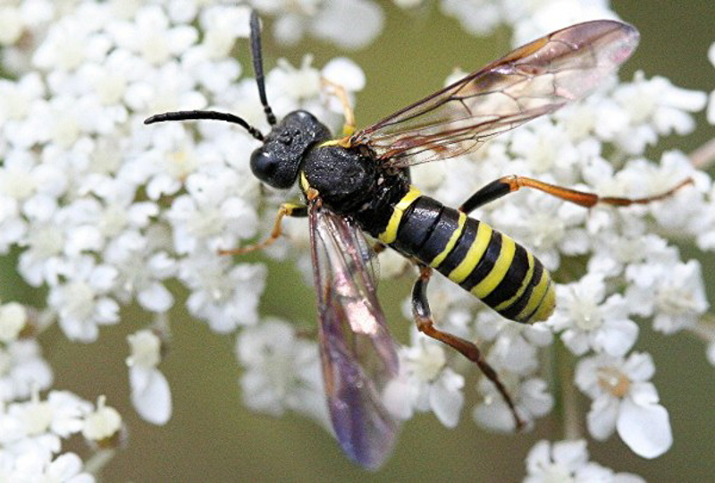 Sawflies and horntails : (Tenthredinidae) Tenthredo vespa