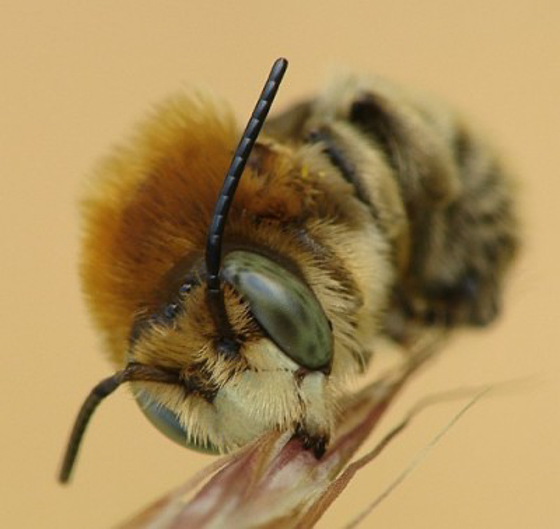 Bees : (Megachilidae) Trachusa byssina