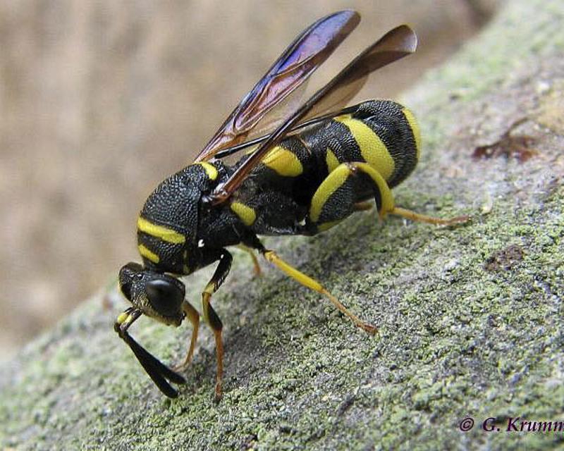 Chalcid wasps : (Leucospidae) Leucospis dorsigera
