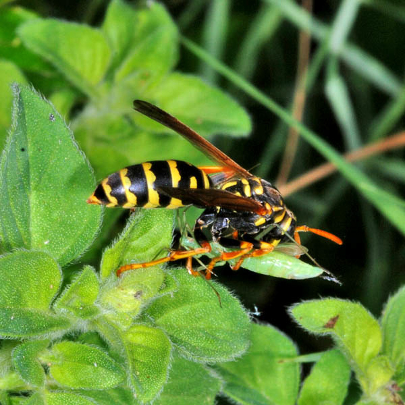 Aculeate Wasps : (Vespidae) Polistes associus