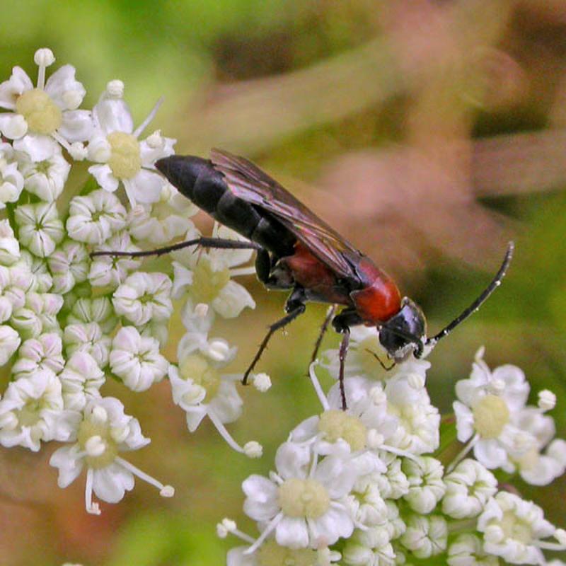 Aculeate Wasps : (Pompilidae) Homonotus sanguinolentus