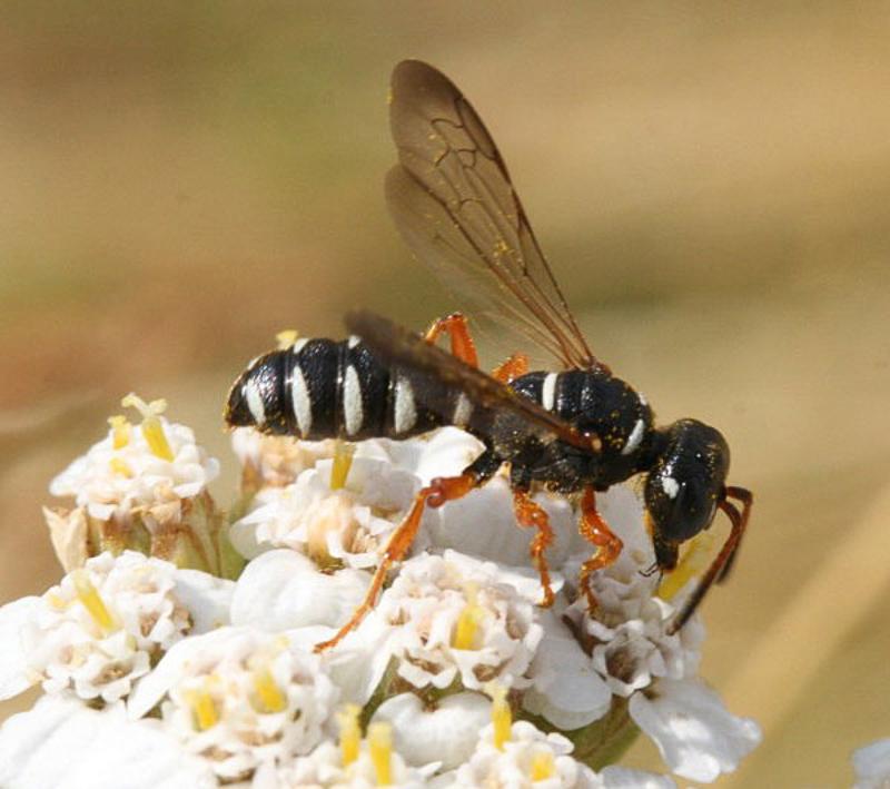 Aculeate Wasps : (Crabronidae) Cerceris interrupta