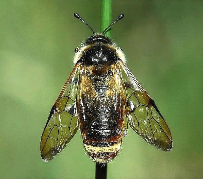 Sawflies and horntails : (Cimbicidae) Trichiosoma vitellina