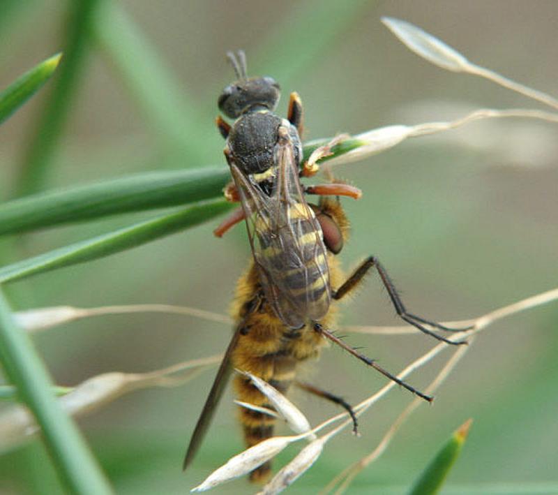 Aculeate Wasps : (Crabronidae) Oxybelus argentatus
