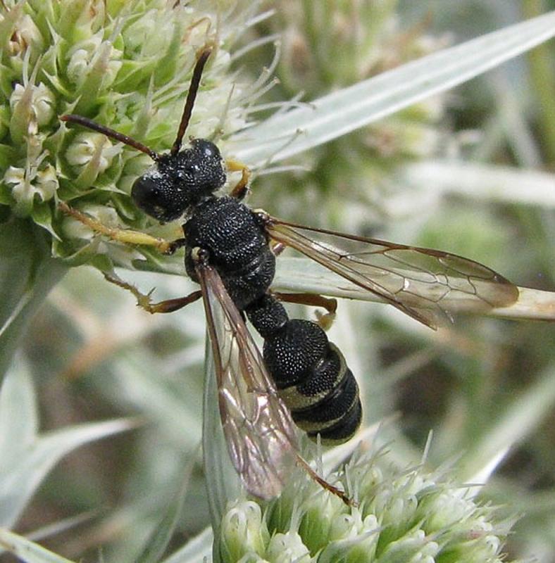 Aculeate Wasps : (Crabronidae) Cerceris circularis