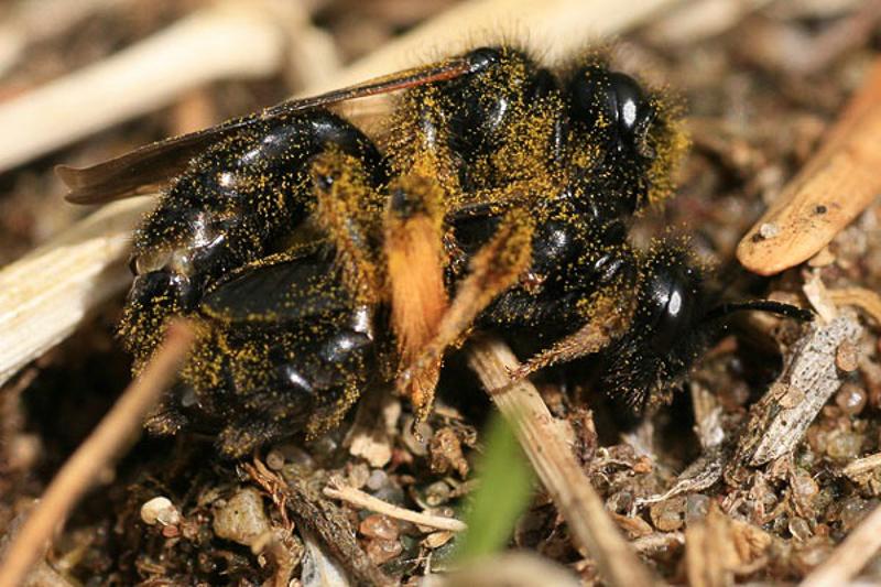 Bees : (Andrenidae) Panurgus banksianus