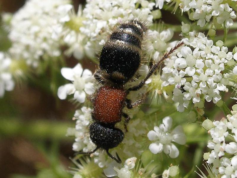 Aculeate Wasps : (Mutillidae) Tropidotilla litoralis