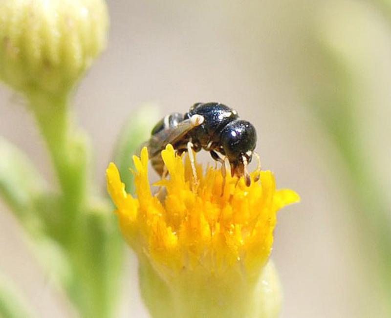 Aculeate Wasps : (Vespidae) Quartinia nitens