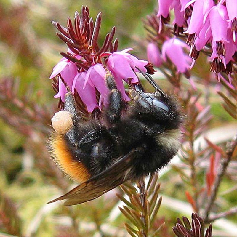 Bees : (Apidae) Bombus monticola