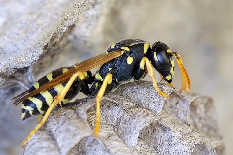 Aculeate Wasps : (Vespidae) Polistes foederatus