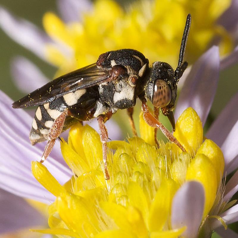 Bees : (Apidae) Epeolus tarsalis