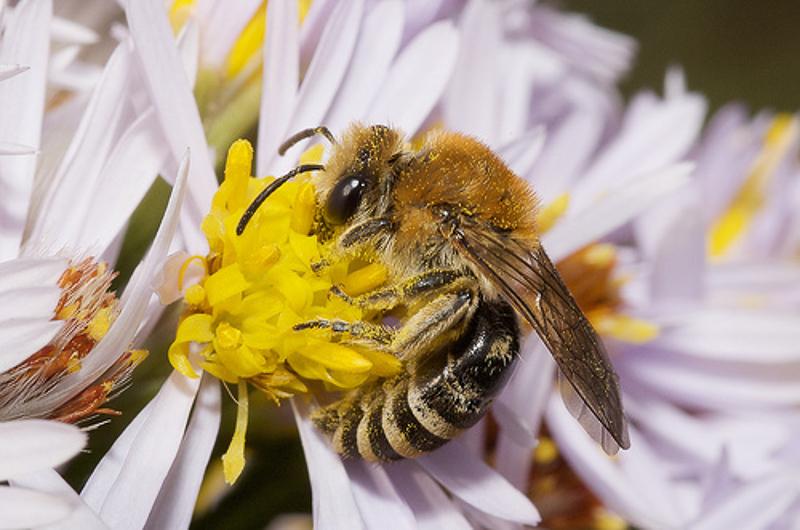 Bees : (Colletidae) Colletes halophilus