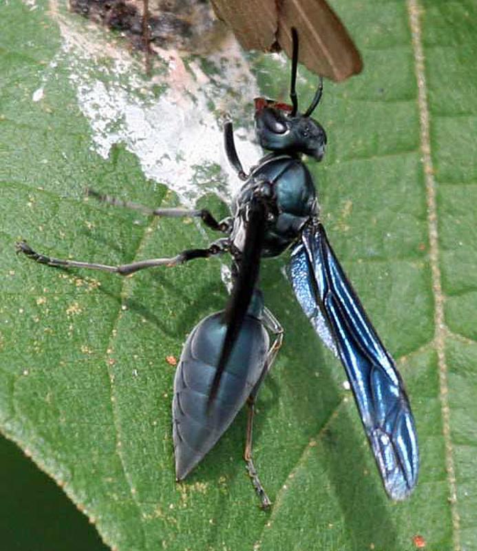 Aculeate Wasps : (Vespidae) Synoeca cyanea