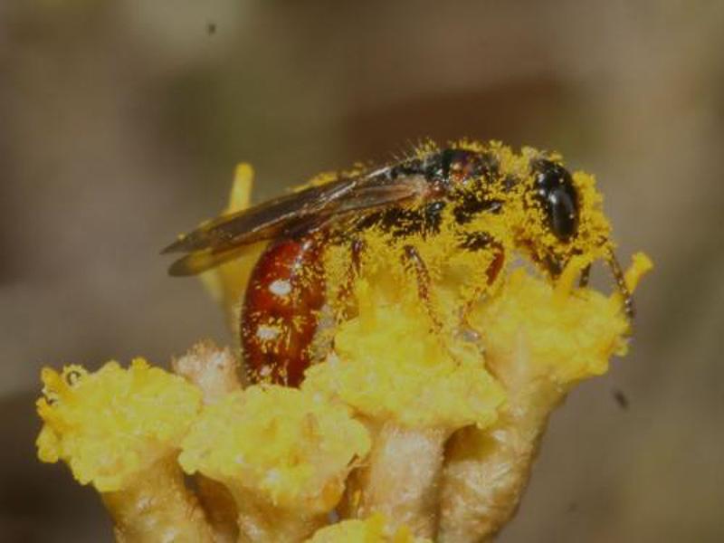 Aculeate Wasps : (Tiphiidae) Meria tripunctata