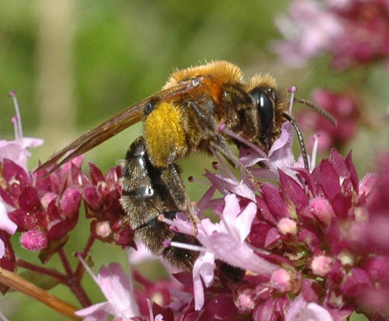 Bees : (Andrenidae) Andrena assimilis