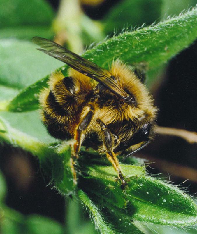 Bees : (Megachilidae) Osmia mustelina