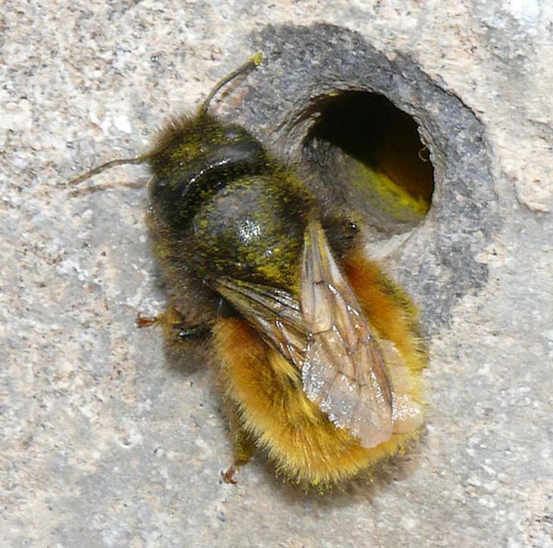 Bees : (Megachilidae) Osmia tricornis