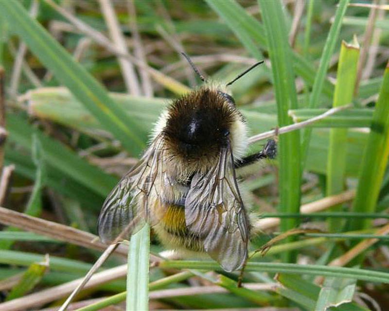 Bees : (Apidae) Bombus humilis