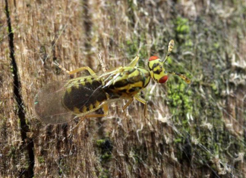 Chalcid wasps : (Eulophidae) Cirrospilus vittatus