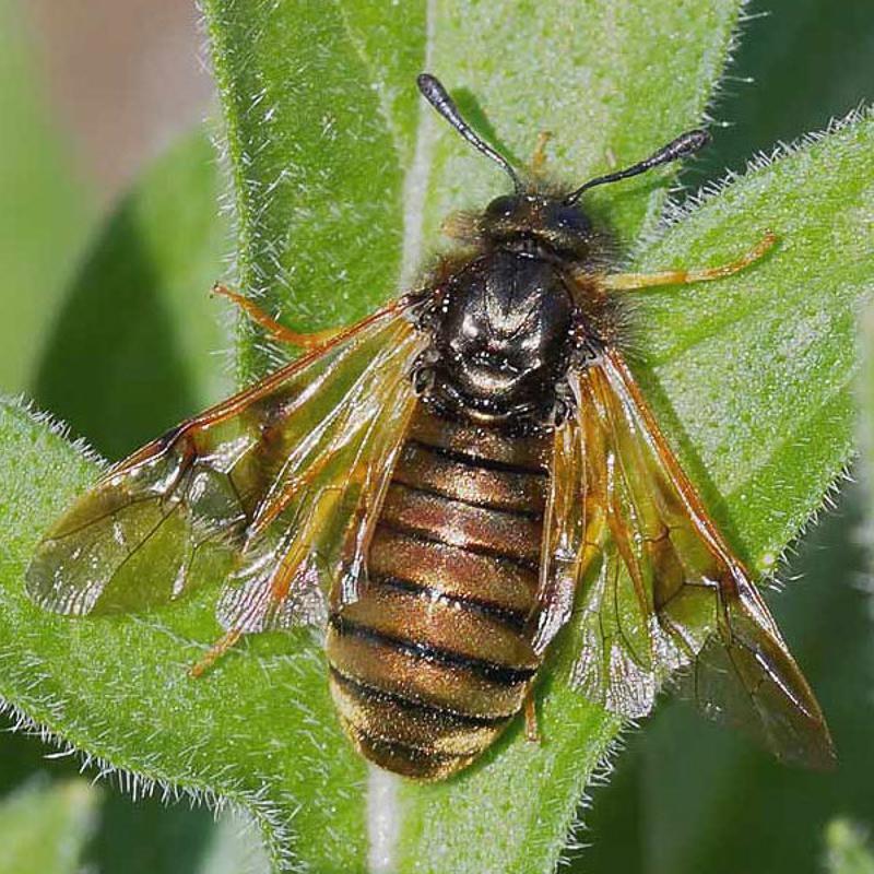 Sawflies and horntails : (Cimbicidae) Abia aenea