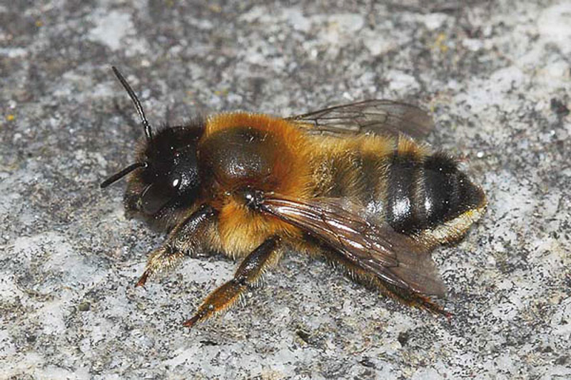 Bees : (Megachilidae) Megachile nigriventris