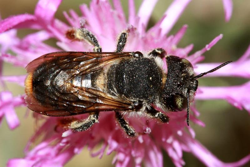 Bees : (Megachilidae) Lithurgus chrysurus