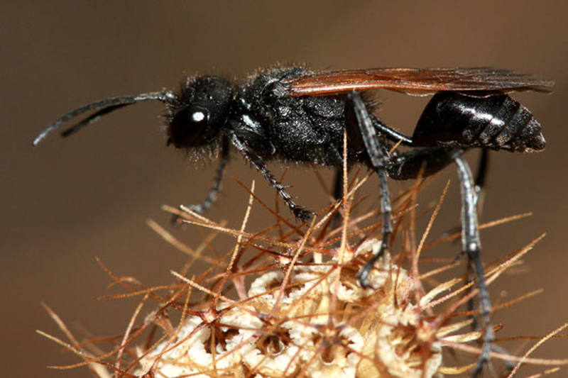 Aculeate Wasps : (Sphecidae) Prionyx subfuscatus
