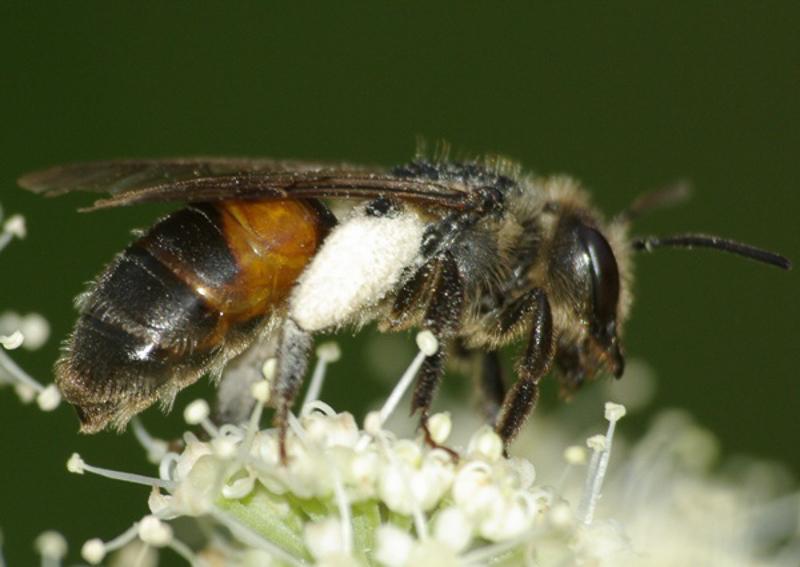Bees : (Andrenidae) Andrena rosae