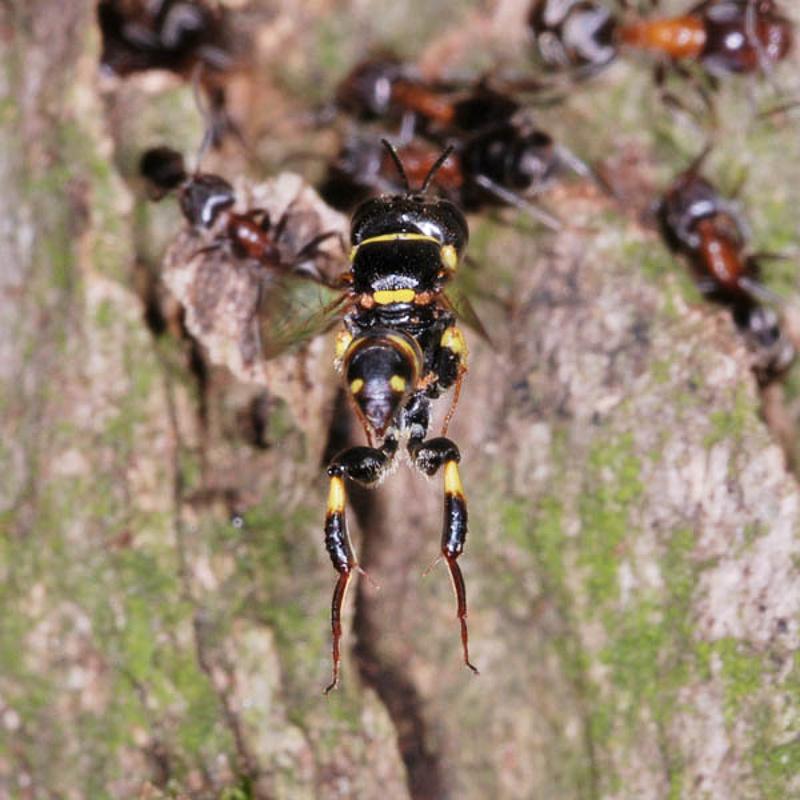 Aculeate Wasps : (Crabronidae) Tracheliodes varus