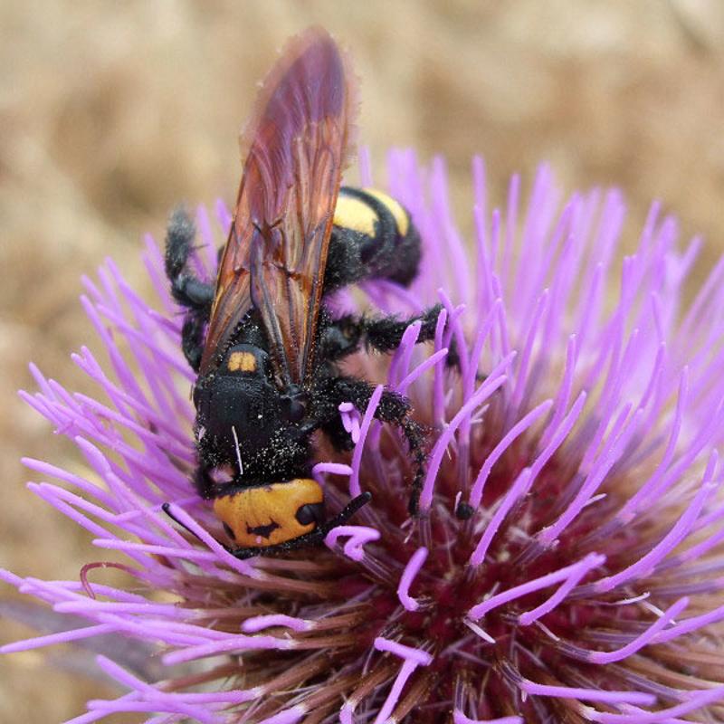 Aculeate Wasps : (Scoliidae) Megascolia maculata