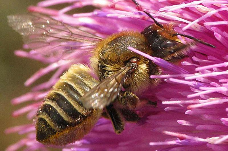 Bees : (Megachilidae) Megachile maritima