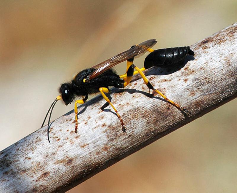 Aculeate Wasps : (Sphecidae) Sceliphron destillatorium