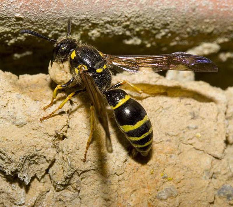 Aculeate Wasps : (Vespidae) Symmorphus murarius