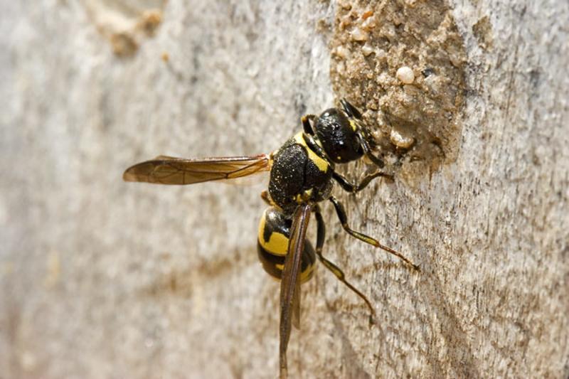 Aculeate Wasps : (Vespidae) Euodynerus notatus