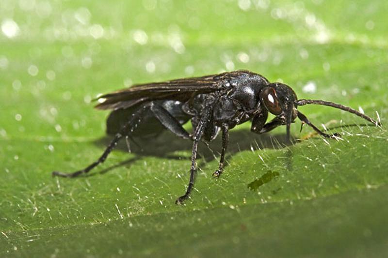 Aculeate Wasps : (Pompilidae) Ferreola diffinis
