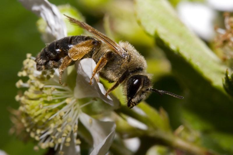 Bees : (Andrenidae) Andrena bluethgeni