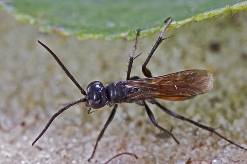 Aculeate Wasps : (Pompilidae) Evagetes crassicornis