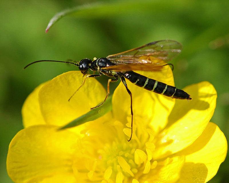 Sawflies and horntails : (Cephidae) Calameuta filiformis