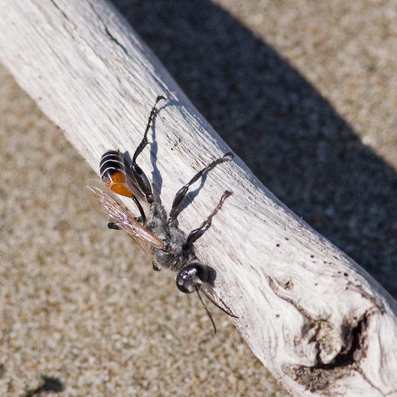 Aculeate Wasps : (Sphecidae) Prionyx kirbii