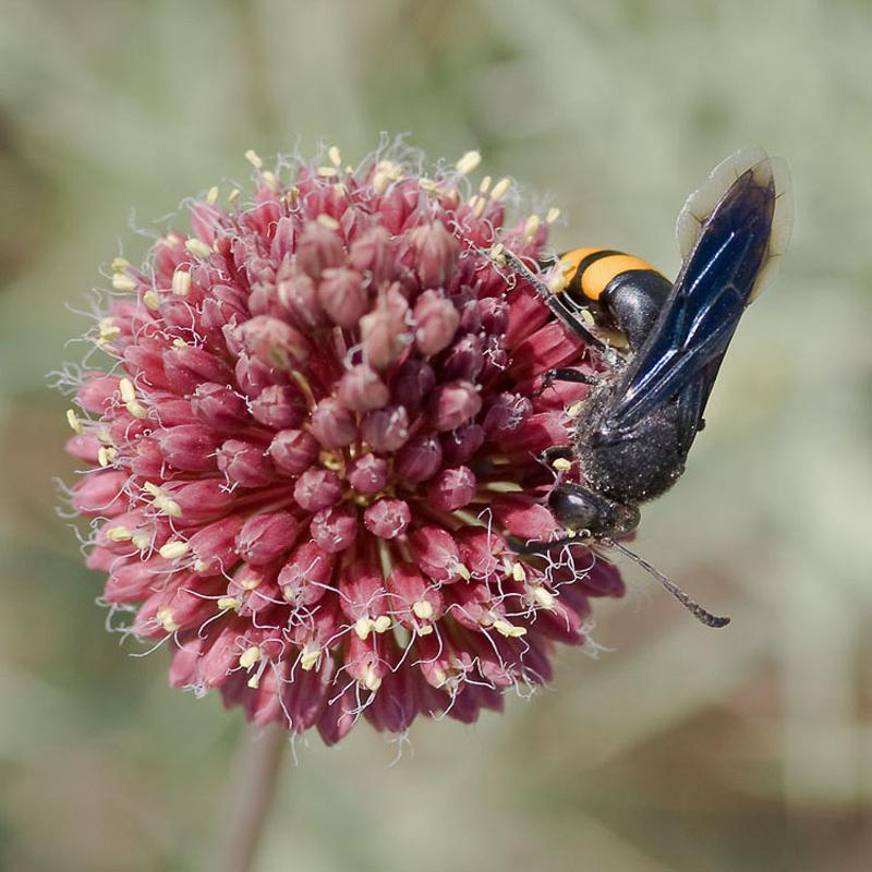 Aculeate Wasps : (Crabronidae) Stizoides tridentatus