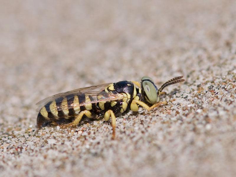 Aculeate Wasps : (Crabronidae) Palarus funerarius