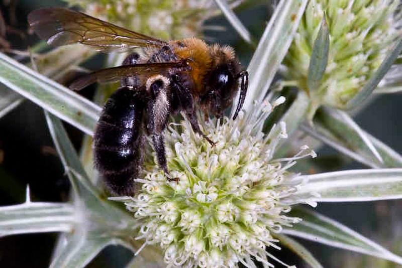 Bees : (Andrenidae) Andrena gallica