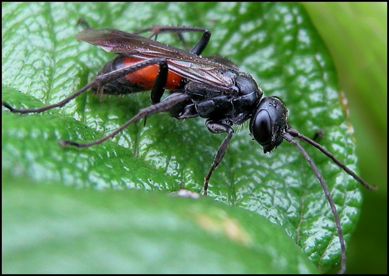 Aculeate Wasps : (Pompilidae) Caliadurgus fasciatellus