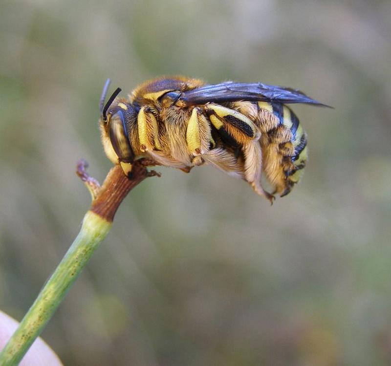Bees : (Megachilidae) Anthidium florentinum