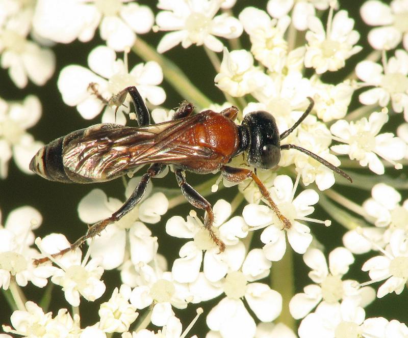 Aculeate Wasps : (Crabronidae) Harpactus laevis