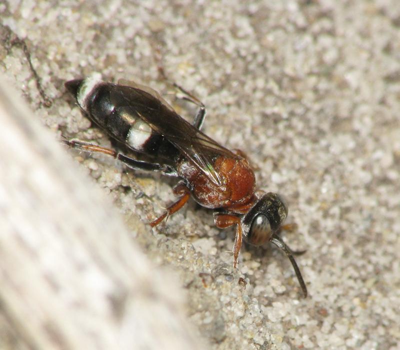 Aculeate Wasps : (Crabronidae) Harpactus pulchellus
